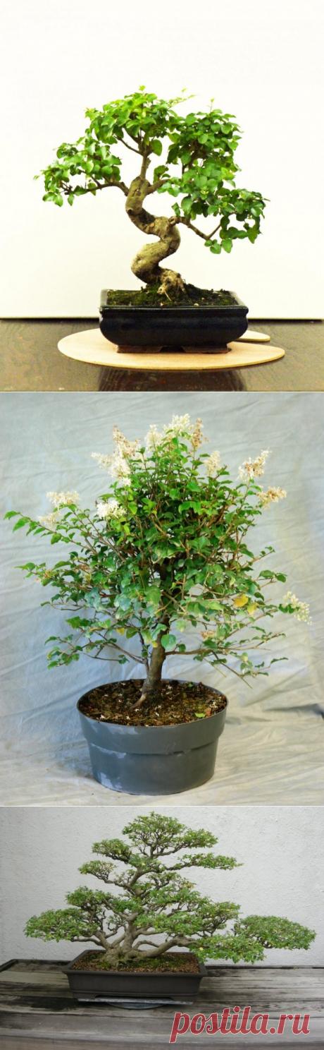Комнатная бирючина — элегантная классика. Выращивание в домашних условиях. Бонсай. Фото - Ботаничка.ru