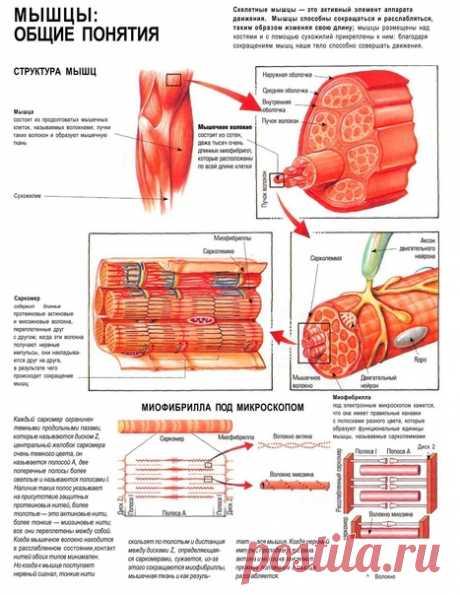 """Строение мышц.  (что бы просмотреть в лучшем качестве при просмотре нажмите """"открыть оригинал"""")"""