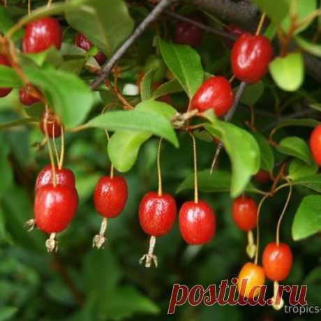 Elaeagnus multiflora - Лох многоцветковый, Гуми Лох многоцветковый – растение семейства Лоховые.Его плоды пригодны для употребления в сыром виде, а также для консервации, на вкус напоминают яблоко, виноград и вишню, содержат много витаминов.