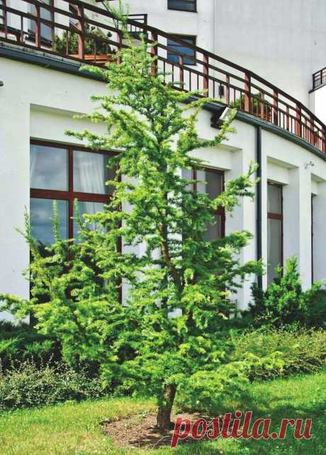 Какую лиственницу выбрать для сада и как за ней ухаживать? Виды и сорта, посадка и уход. Фото — Ботаничка.ru