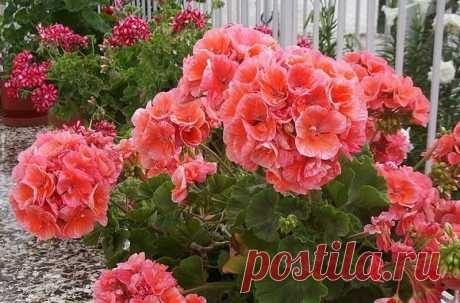 To provide geraniums magnificent blossoming, it is necessary to know THESE rules! My flowers are envied by all neighbors.