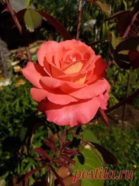 Моя прекрасная Карлита в погожий сентябрьский денёк...)))🌹🌹🌹