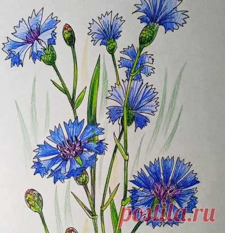Как нарисовать цветок Василек. Поэтапный урок для любителей рисовать. | Рисуем вместе | Яндекс Дзен