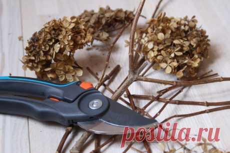 Правила обрезки гортензии метельчатой