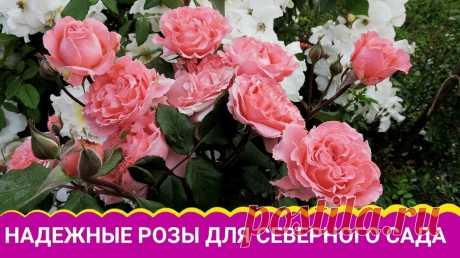 Надежные розы для северного сада — Смотреть в Эфире https://shopsad.ru/catalog/rozy_sazhentsy/ - САЖЕНЦЫ РОЗ. ЗАКАЗАТЬ очень красивые розы (саженцы из питомника) в интернет-магазине БЕЛАЯ АЛЛЕЯ. Самые …