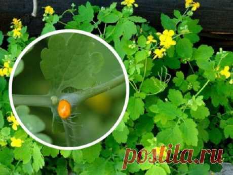 Чистотел и рак: как применяется растение в лечении — Садоводка