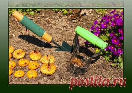 Как посадить гладиолусы, чтобы цветоносы не падали и выдерживали любой ветер (без всяких опор и подвязываний)   Рукоделкино   Яндекс Дзен