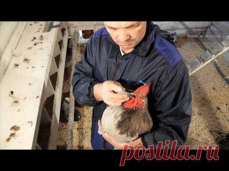 Куры клюют яйца, тяжело дышат и хрипят. Лечение и профилактика птицы - YouTube