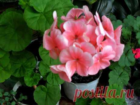 розовая с белой окантовочкой.герань