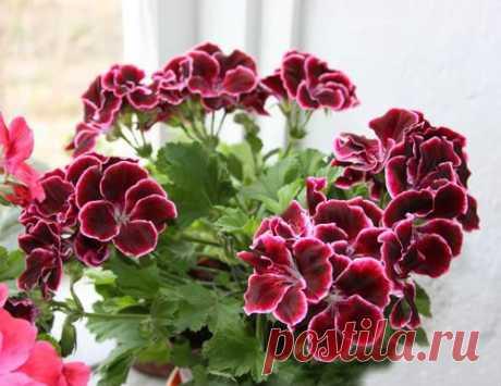 Королевская пеларгония не цветет Вопрос:  Два года назад купила цветущий кустик пеларгонии королевской. Вот уже вторую весну она не желает цвести, хотя обычные пеларгонии рядом с...