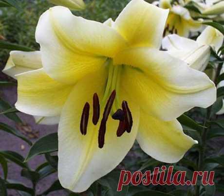 Уход за лилиями после цветения   Моя цветущая дача   Яндекс Дзен