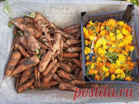Морковь и календула. И нет проблем! | Загородные идеи | Яндекс Дзен
