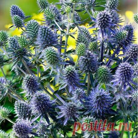Многолетний садовый цветок Синеголовник (Eryngium). Семейство: зонтичные (Umbelliferae)  Синонимы: эрингиум  Травянистый стержнекорневой многолетник высотой до 1 м с крепким стеблем и колючими листьями. Головчатые соцветия сине-голубые. Цветет в июне - сентябре.  Основные виды В культуре распространены: с.альпийский (E.alpinum) - высотой 60-70 см; листья цельные, кожистые, колючие; соцветие цилиндрическое, с колючими прицветниками, цветет в июле - августе.