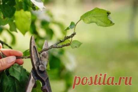 Как обрезать плодовые деревья летом: 5 простых и эффективных приемов