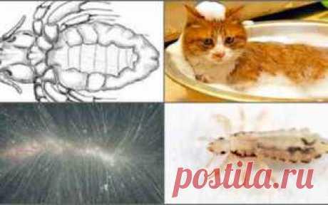 Кошачьи вши: симптомы заражения, опасность для человека