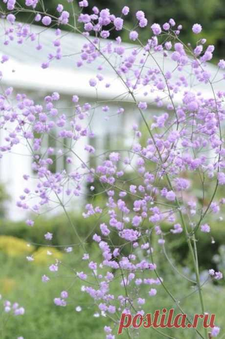 (2) Thalictrum 'Hewitt's Double - I have this perennial in my garden. It's been a favorite for years. This photo is gorgeous, but it actually doesn't…
