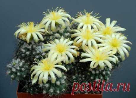 Кактусы. Это интересно. Родина кактусов Центральная, Южная и Северная Америка. В Европу кактусы как чудо природы были завезены Колумбом и широко распространились Корни мексиканского...