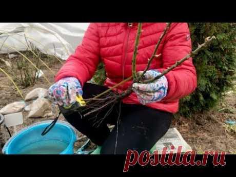 ПОСАДКА РОЗ ВЕСНОЙ / питомник Елены ИВАЩЕНКО
