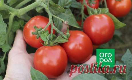 Уход за томатами в августе   Томаты (Огород.ru)