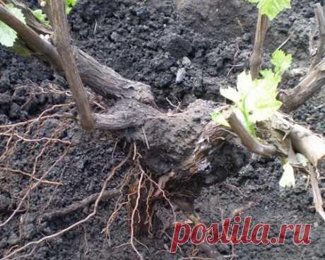 Пересадка винограда – от основ до хитростей бывалых дачников + видео