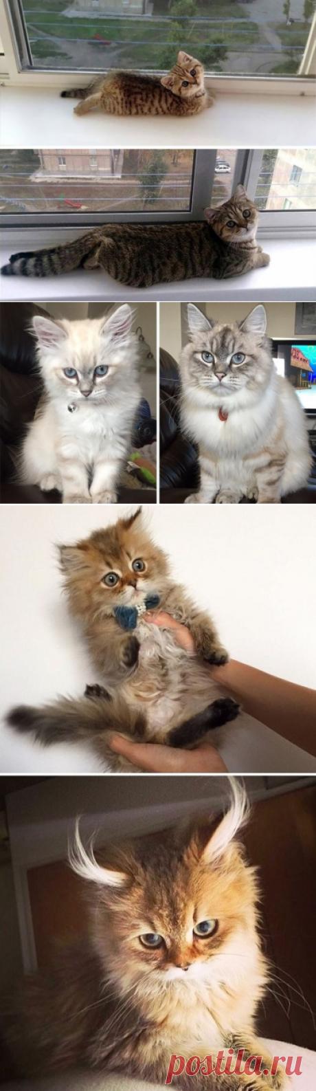 25 fotografías de los gatitos encantadores, que se han convertido en los gatos lujosos