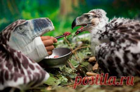Замаскированный сотрудник Фонда спасения филлипинского орла выкармливает двухмесячного орленка, вылупившегося в неволе. Давао, Филиппины. Филиппинский орел (он же гарпия-обезьяноед) — одна из самых редких, крупных и сильных птиц в мире. Его длина достигает 80–100 см, а размах крыльев доходит до 220 см. Обитает он исключительно в тропических лесах Филиппин и является одним из национальных символов этой страны. По местному закону убийство орла-гарпии карается 12 годами тюремного заключения и…
