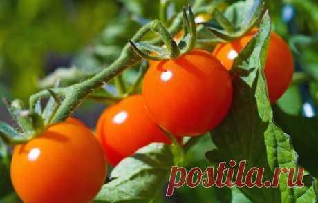 Маленькие секреты выращивания вкусных помидоров — Садоводка
