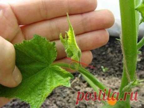 Пасынкование тепличных огурцов, или Как в несколько раз увеличить урожай