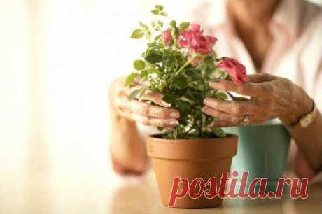 3 способа как укоренить розу из букета - zhurnal-lady.com