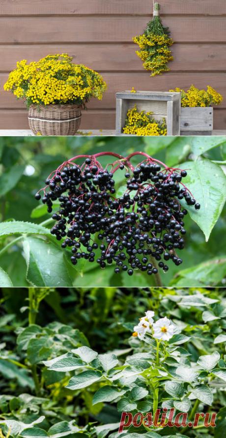 Инсектицидные растения против вредителей. Рецепты настоев и отваров