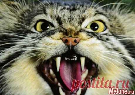 Манул: «кошка, которая гуляет сама по себе» - манул, ареал обитания, образ жизни, привычки, попытки приручения, питание, болезни
