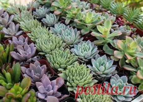 El cuidado sukkulentnymi por las plantas en las condiciones de casa