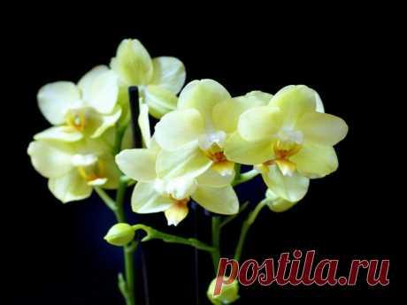 Орхидея Фаленопсис Орхидеи Фаленопсис имеют ряд особенностей в уходе в домашних условиях