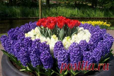 Гиацинт   Садовые цветы