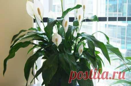 7 Основных правил в уходе за цветком Женское счастье. Добейтесь шикарного цветения без проблем   Блоги о даче, рецептах, рыбалке