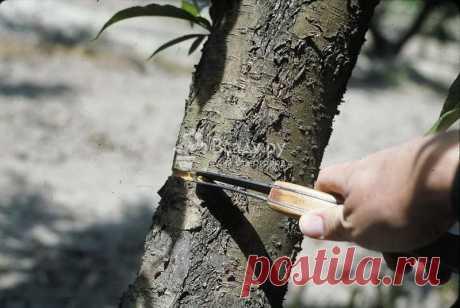 Как заставить деревья плодоносить - лучшие способы Что делать если деревья не дают урожая. 5 способов заставить деревья плодоносить: перетяжка, кольцевание, разведение прищипывание, методика Коломийца