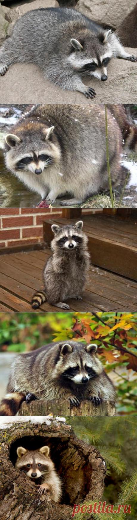 Смотреть изображения енотов | Зооляндия