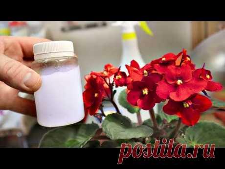 Всю весну будут цвести как заведенные! Подкормка из АПТЕКИ весной для домашних растений глюкозой!