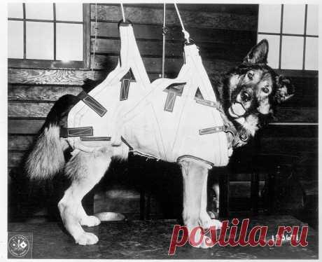 Los perros-paracaidistas de la Segunda Guerra Mundial (9 fotos)   el Diablo toma Durante la Segunda Guerra Mundial el ejército británico durante la preparación para el desembarco en Normandia ha comenzado el experimento – el entrenamiento de los perros-paracaidistas. Los Perros-paracaidistas aprendían a buscar las minas, se preparaban para la guardia y la defensa del enemigo. Los Perros-paracaidistas (angl. paradogs — la reducción de «parachuting dogs») eran preparados en general 13 es aéreo - por el batallón de desembarco del ejército británico. El batallón ha decidido usar a los perros en kaches...