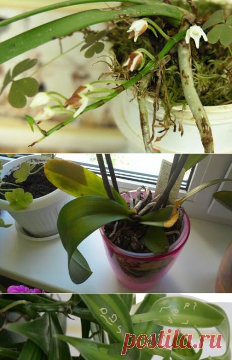 Чем лечить Орхидею? Вредители орхидеи, способы лечения