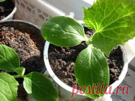 Эффективный метод выращивания ранних огурцов