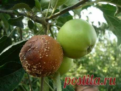 Монилиоз яблонь: как предупредить и лечить гниение | Идеальный огород | Яндекс Дзен