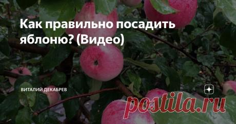 Как правильно посадить яблоню? (Видео) Когда я занимался саженцами плодовых культур, меня часто спрашивали, что...
