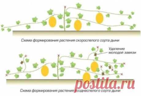 Как правильно прищипывать дыни в открытом грунте и теплице