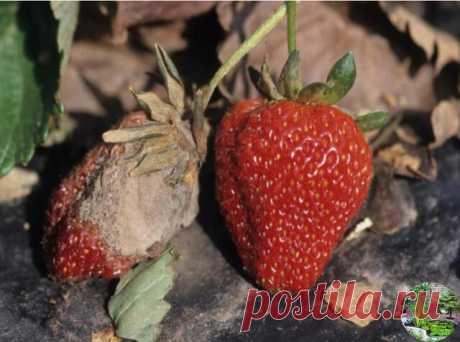 КАК УБЕРЕЧЬ ЯГОДЫ ЗЕМЛЯНИКИ ОТ СЕРОЙ ГНИЛИ?   Серая гниль особенно опасная во влажное лето. Споры этого гриба живут в почву. Если изолировать ягоды от почвы, то это значительно снизит заболеваемость. Можно сажать землянику на черный лутрасил (или спанбонд). Можно подкладывать во время плодоношения под цветоносы дощечки, или подвязывать их к шпалерам, или стягивать кустики бечевкой, подставлять опоры и так далее. Но обязательно надо еженедельно поливать и почву, и кусты рас...