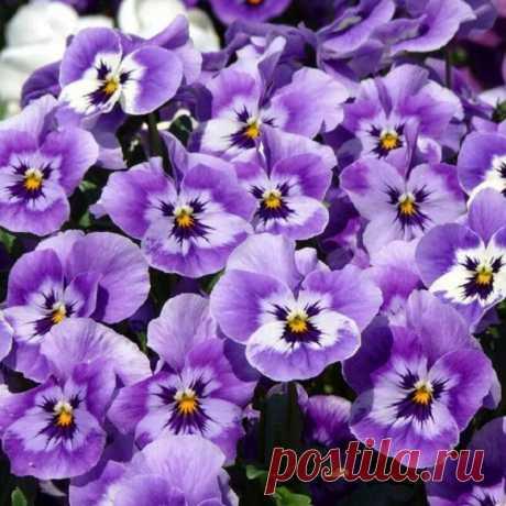Важные правила при выращивании фиалки садовой, чтобы она буйно цвела | САД | Яндекс Дзен