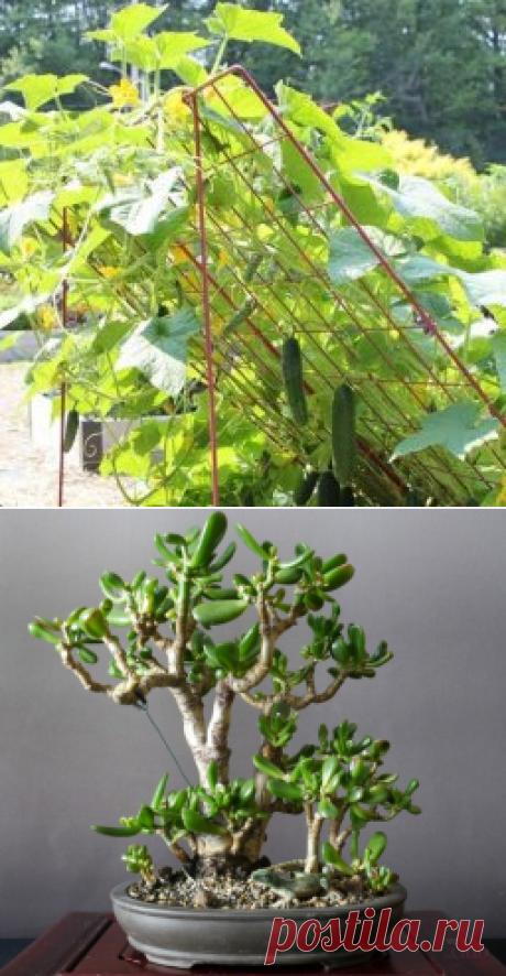 Как сформировать красуллу, которую называют денежным деревом