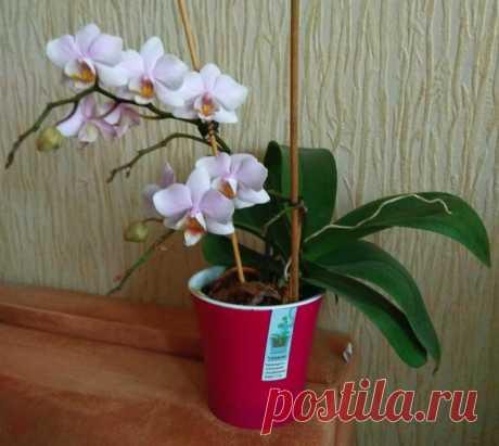 Знакомая рассказала, как из одного растения получить 2 орхидеи. Делюсь опытом