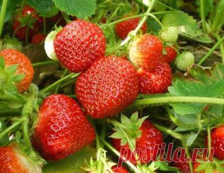 ¡Correcto la fertilización-cosecha abundante de la fresa!