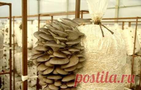 Выращивание грибов вешенки для начинающих
